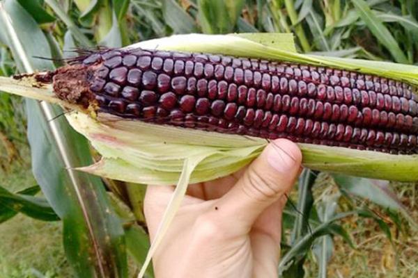 Crearon en la FCA-UNC nueva variedad de maíz morado