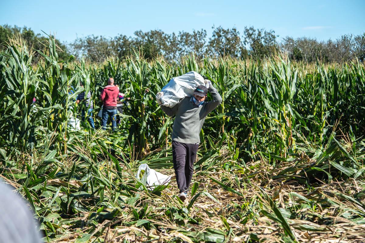 El PASA donó dos hectáreas de choclos a comedores comunitarios