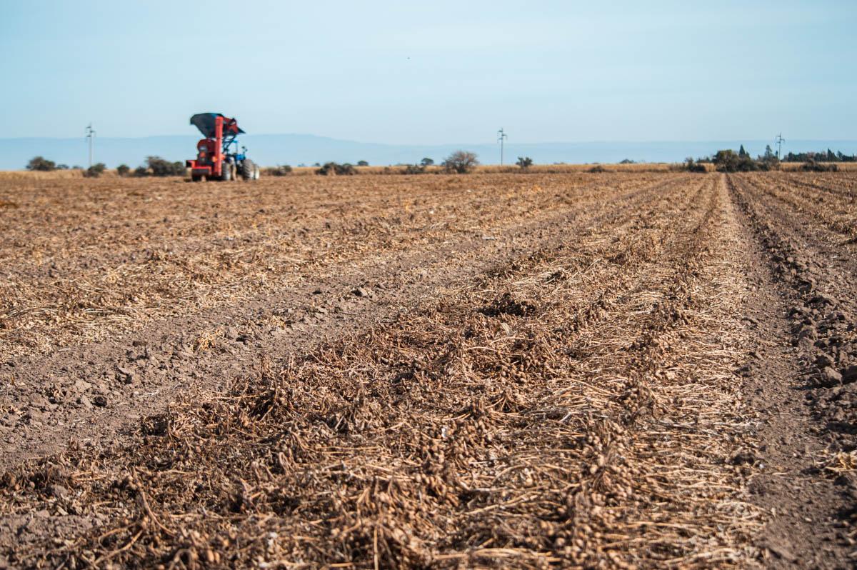 Nueva cosecha de maní en el Campo Escuela